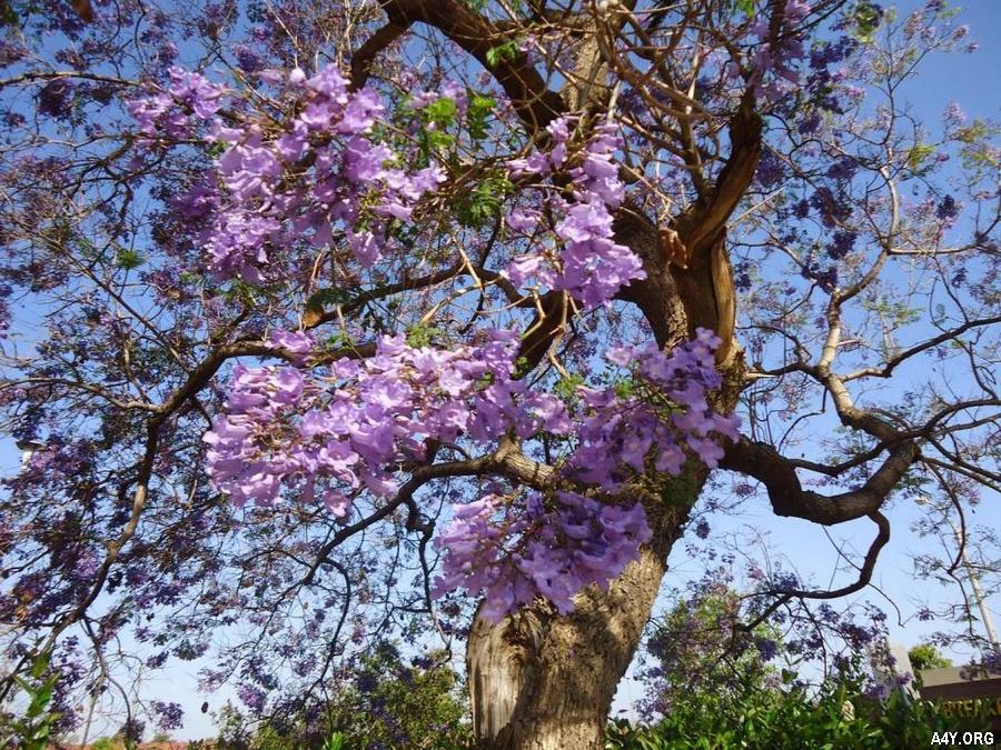 cây phượng tím trổ bông thật đẹp