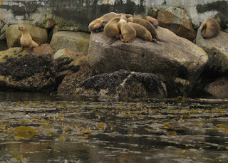 Many sea lions hauled out on rocks, Monterey, California