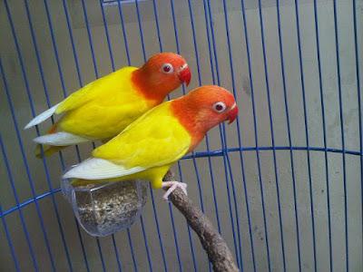 Tata Cara Perawatan Burung Lovebird Lutino Mulai dari Ciri, Sifat, Perawatan dan Pakan Hariannya