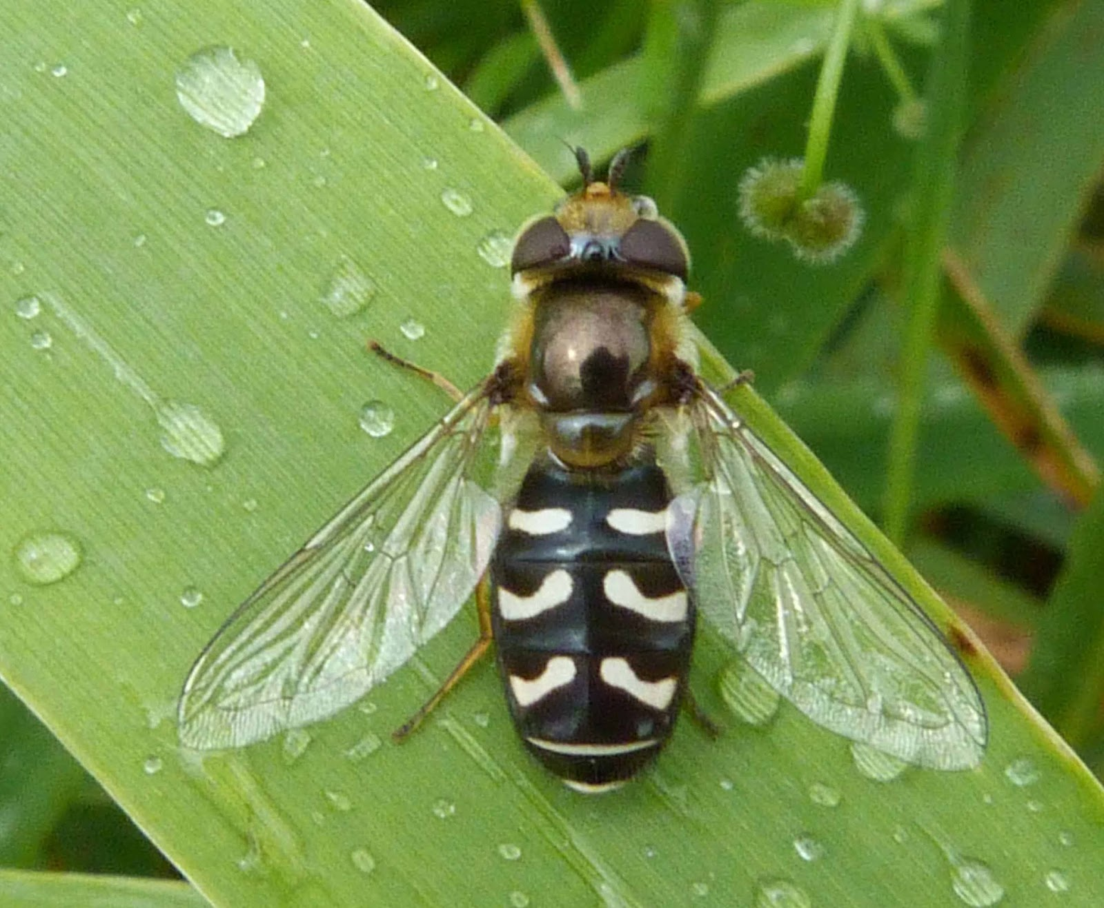 Insects of Scotland: Hoverflies