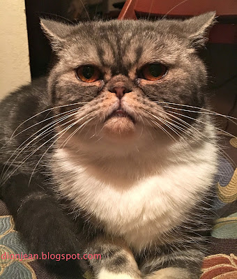 Popoki the cat is angry