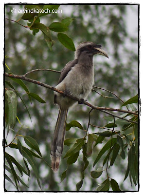 Juvenile, Indian Grey Hornbill