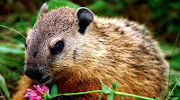 Woodchuck animal pictures_Marmota monax