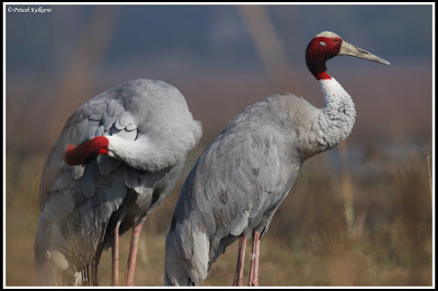 Sarus Crane at Bharatpur