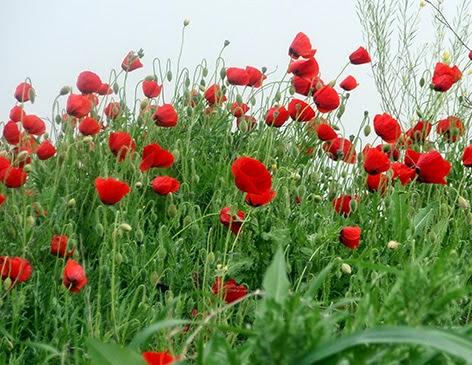Amapola (Papaver Rhoeas) flor silvestre roja