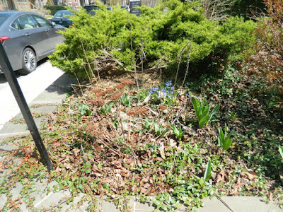 Toronto Summerhill spring front yard garden clean up before by Paul Jung Gardening Services