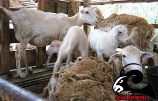 Cara Memilih Indukan Domba Yang Bagus