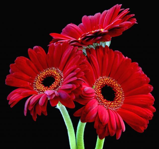 Flowers For Flower Lovers.: Red Daisy Flowers Desktop