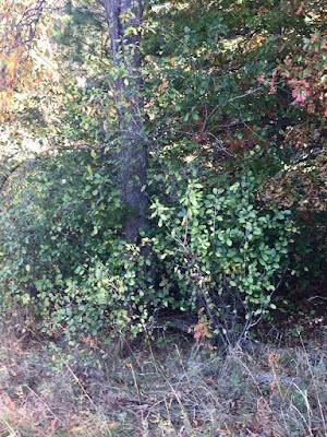 buckthorn under black cherry tree
