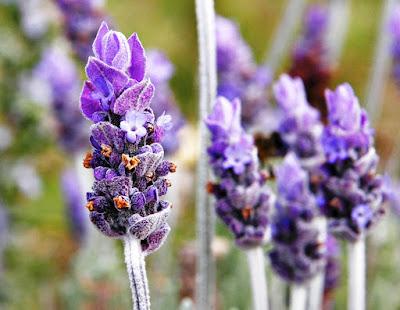 Bunga Lavender berkhasiat untuk kesehatan tubuh