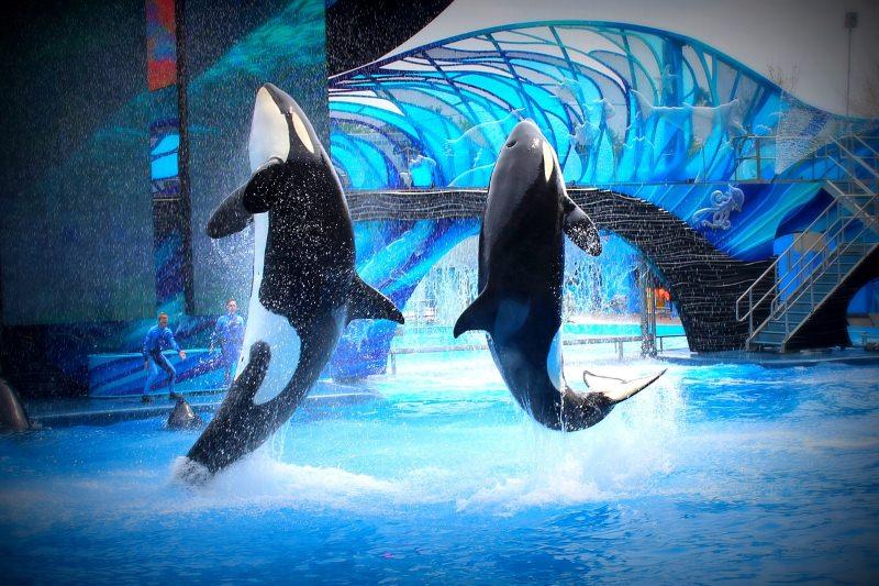 Orcas num parque aquático