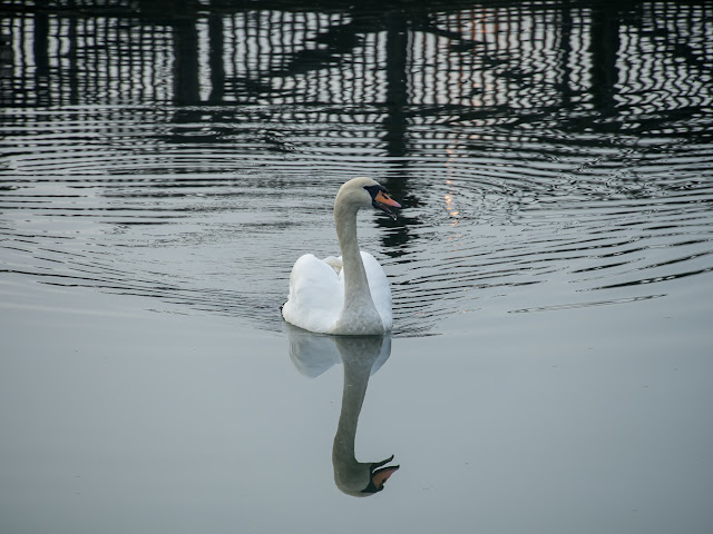 Photo of one of the two swans that are very regular visitors to the marina
