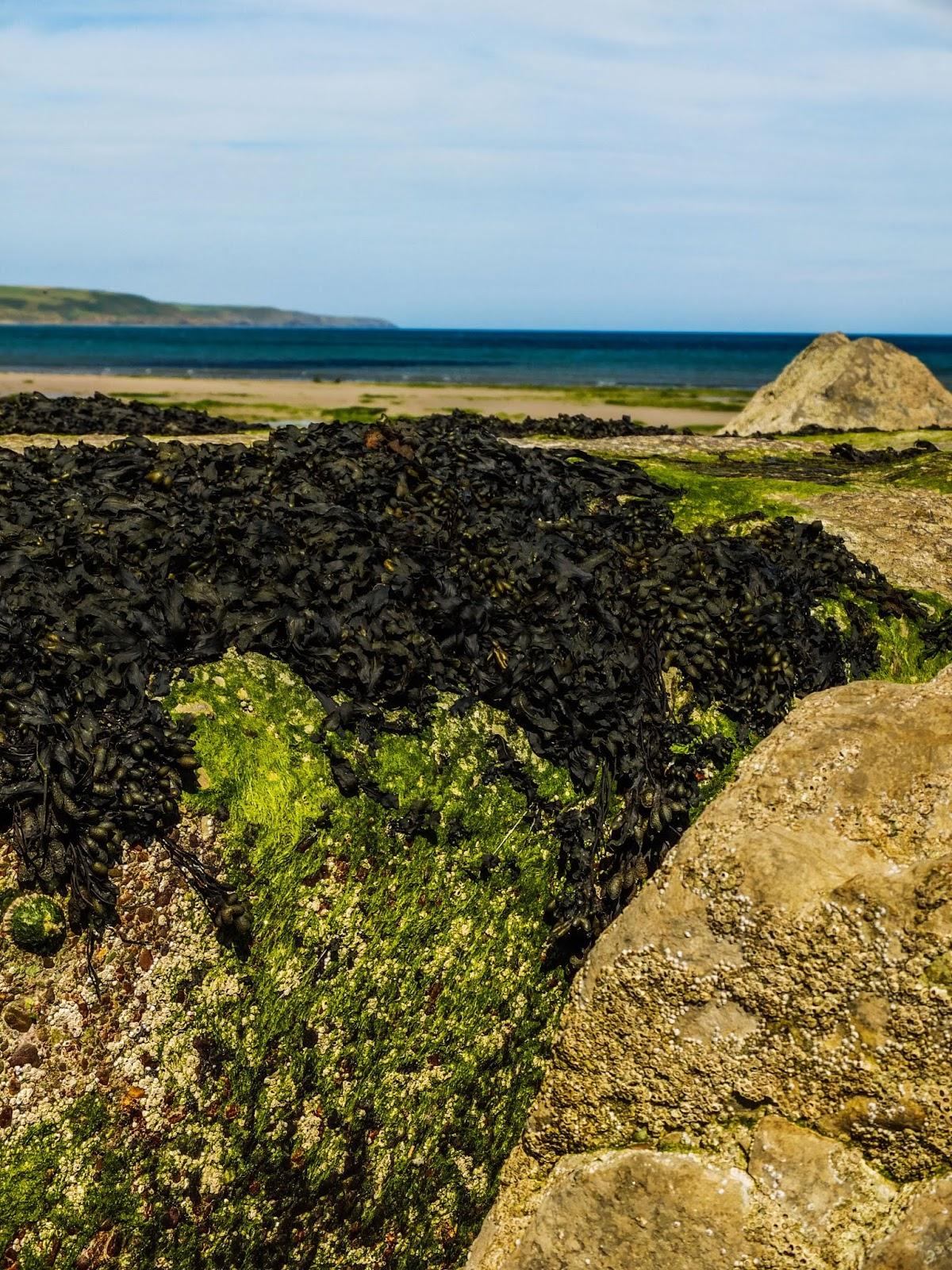 Seaweed growing on rocks on Garryvoe beach, Co.Cork.