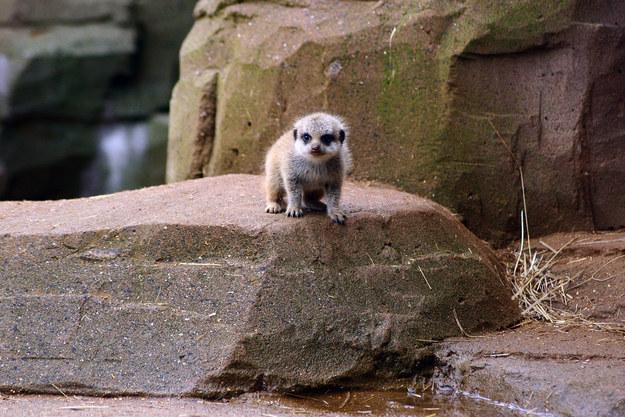 Baby Animals: Baby meerkat