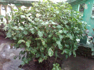 Pohon Melati dari Brebes
