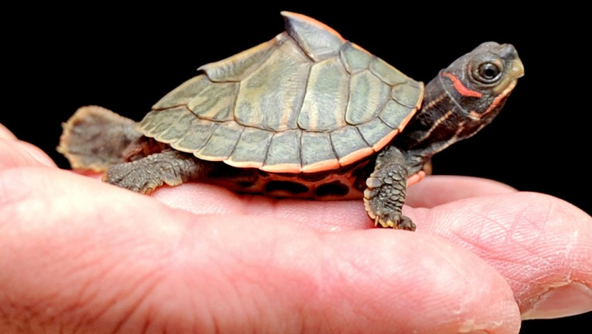 Reptile Research And Conservation Trust Of India Turtles