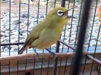 Burung Pleci Dakun Bukpar Asli Tegal