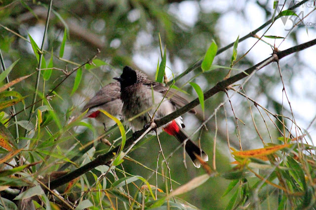 Red-vented bulbul - Ooty