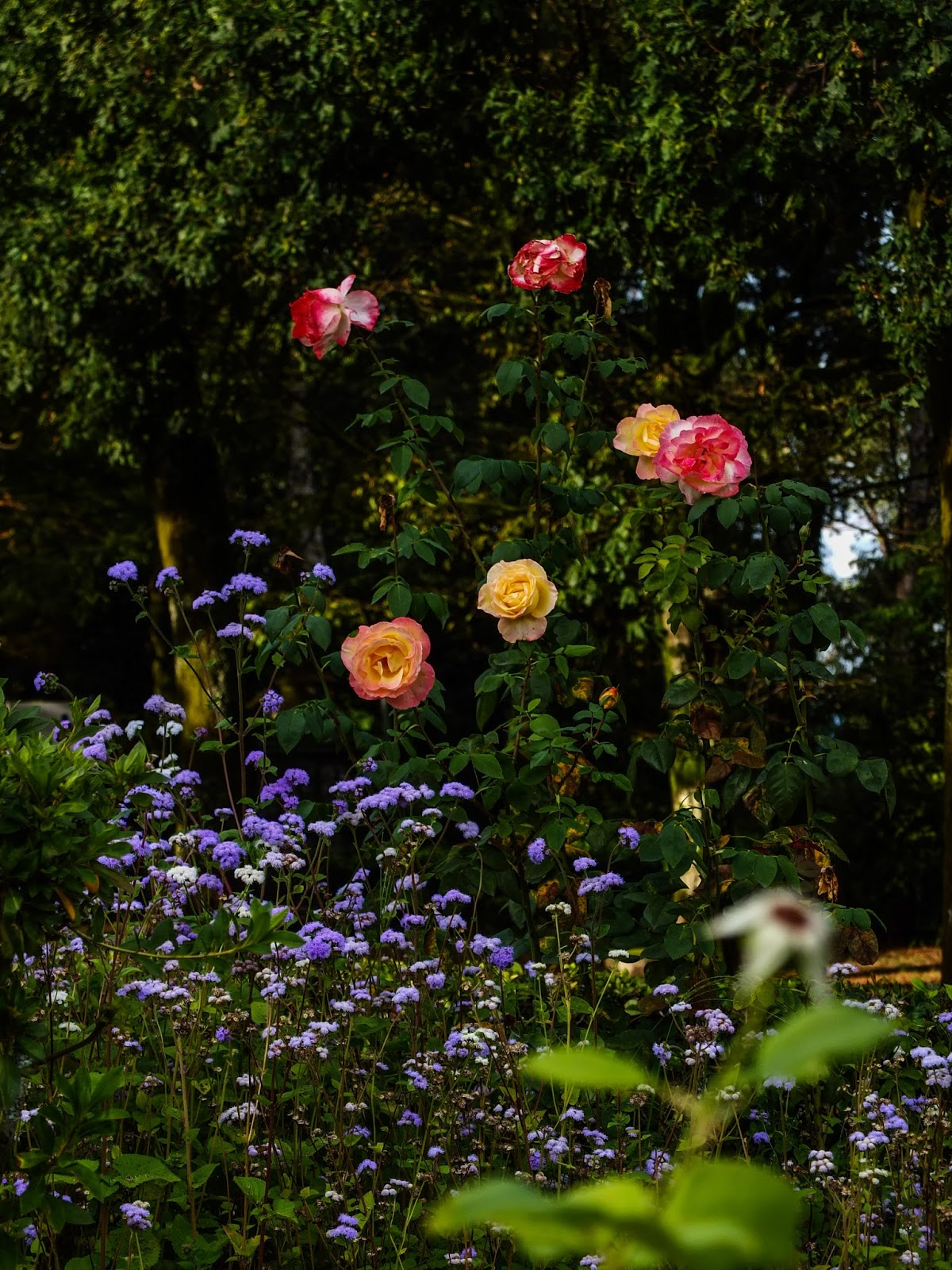 Roses in a flower garden in Porto, Portugal.