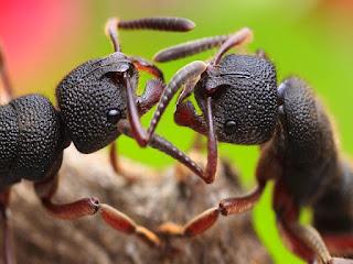 perbedaan-semut-jantan-betina.jpg