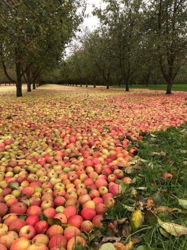 18 Pictures That Show How Nature Secretly Laughs At Us - An apple orchard in Ireland right after Hurricane Ophelia