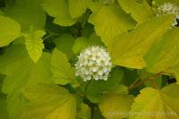 Pęcherznica kalinolista 'Dart's Gold'- Physocarpus opulifolius 'Dart's Gold'