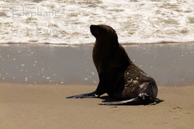 Cape fur seal on the shore at Rocher Pan
