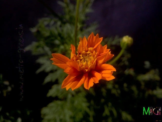 Metro Greens: Orange cosmos bloom