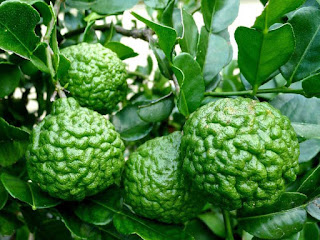 Kaffir Lime Fruit Pictures
