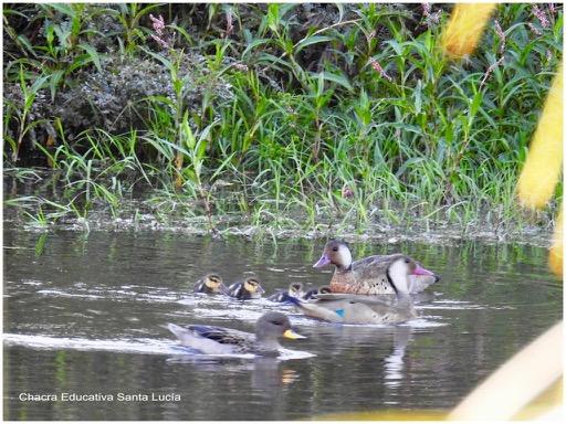 Los patos silvestres se sienten a gusto en el tajamar chico - Chacra Educativa Santa Lucía