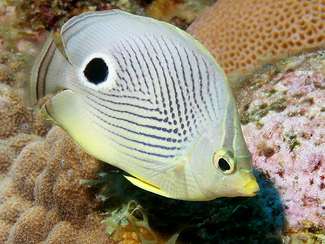 Life of four eye butterflyfish life of sea for One eyed fish