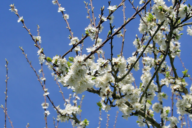 The Victory Garden - White Damson Blossom shot against a pale blue sky