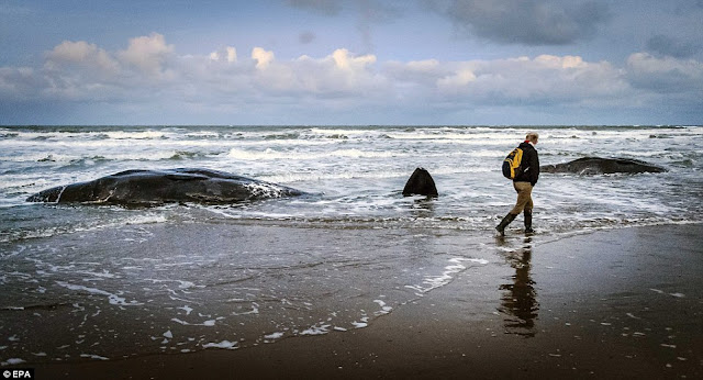 sperm whales washed ashore