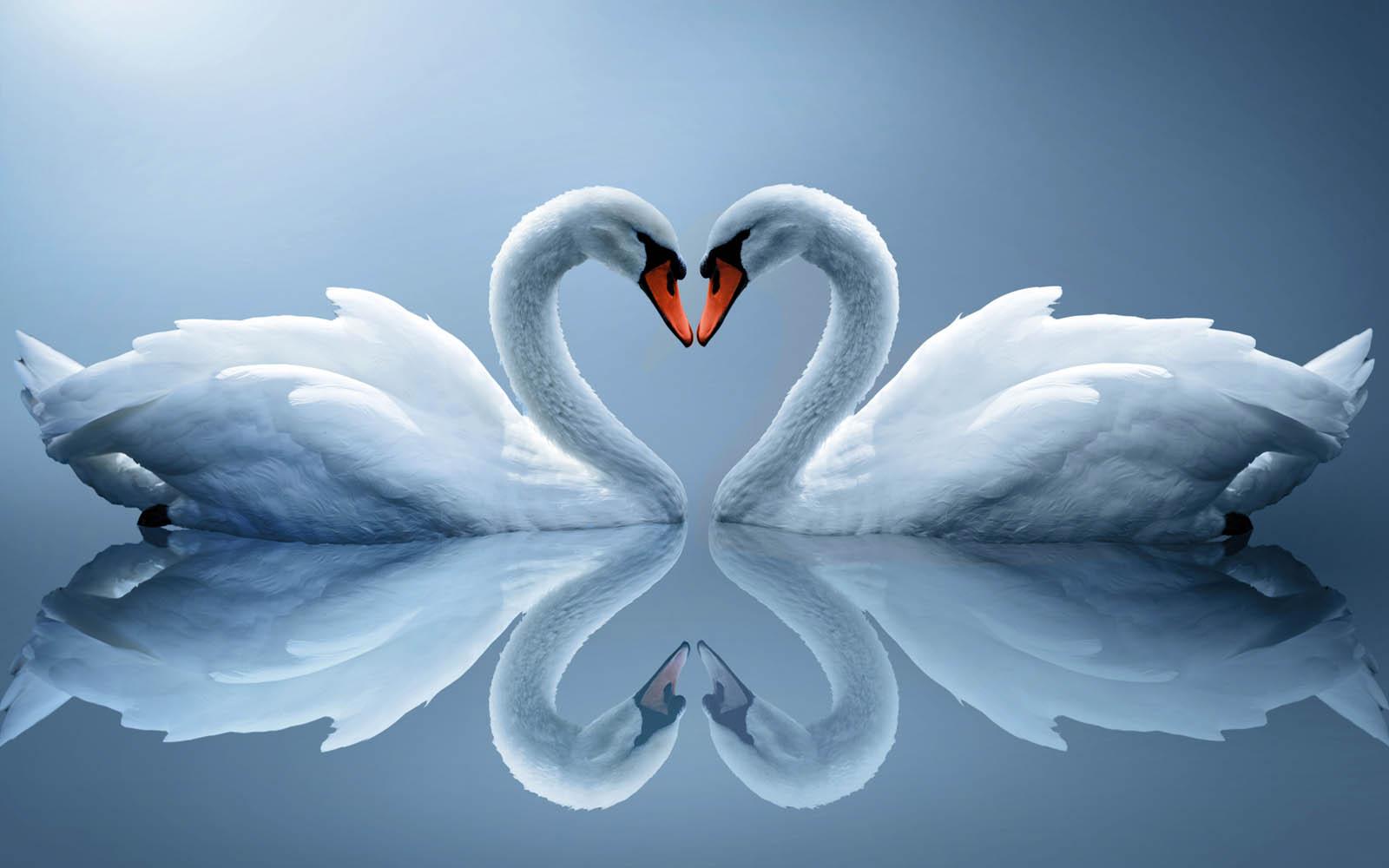 Wallpapers Swan Wallpapers