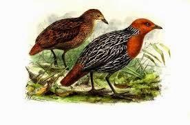 polluela malgache Sarothrura insularis
