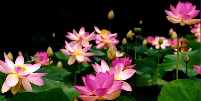Lotus (Hoa Sen) 1