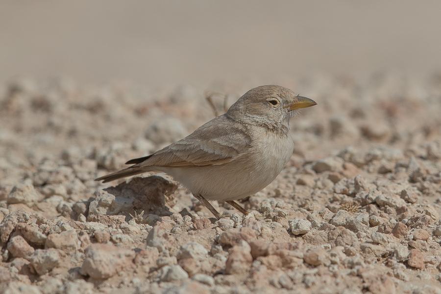 Desert Larks – Jebal Hamrah