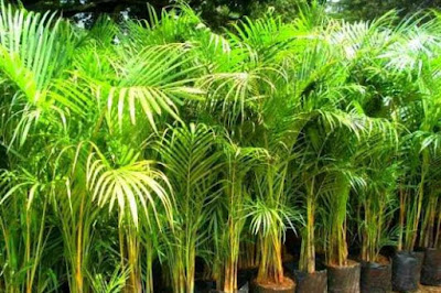 Tukang taman surabaya tanaman hias palem bambu