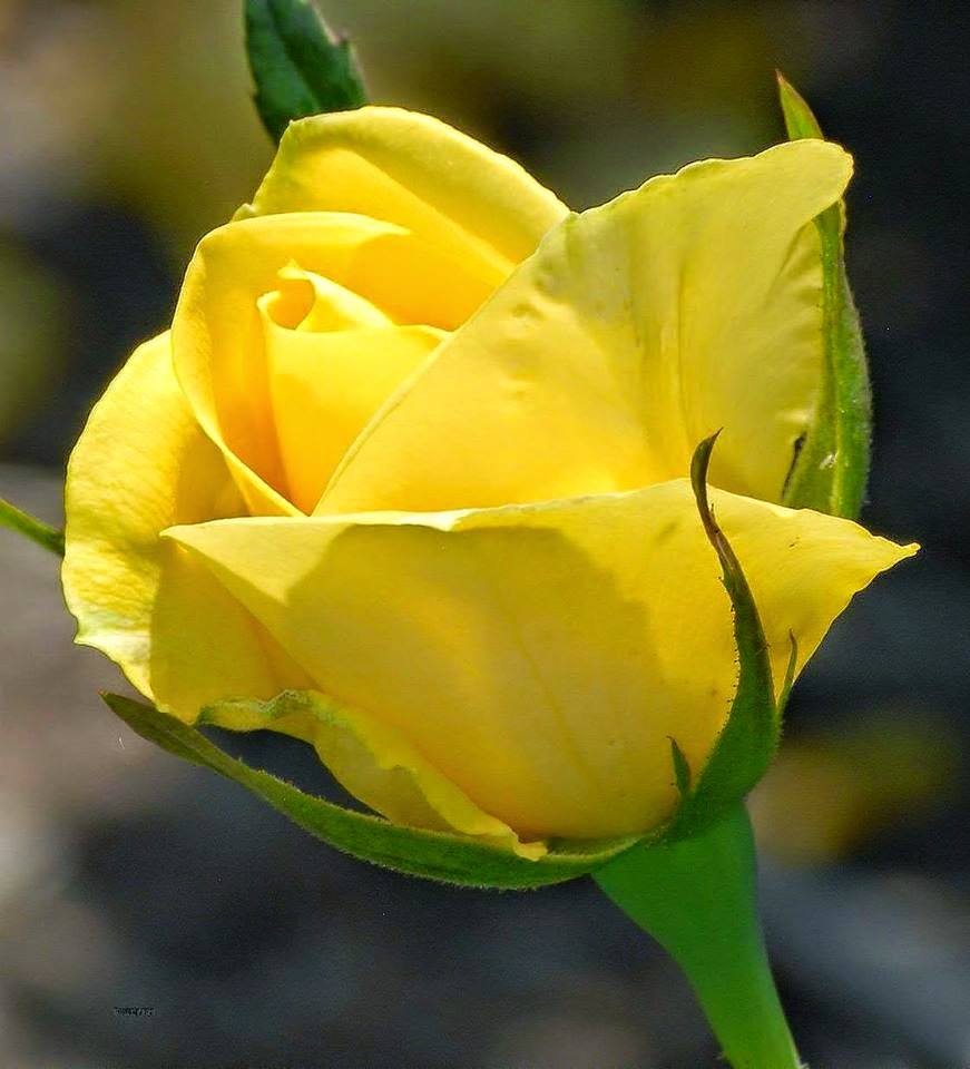 Wallpaper Of Yellow Rose: 1000+ Images About Geel Rose On Pinterest