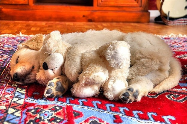 A protective dog spooning with a Doll