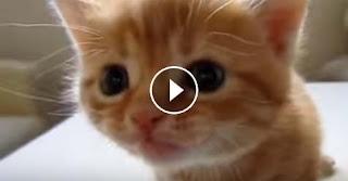 Small kitten tries to meow