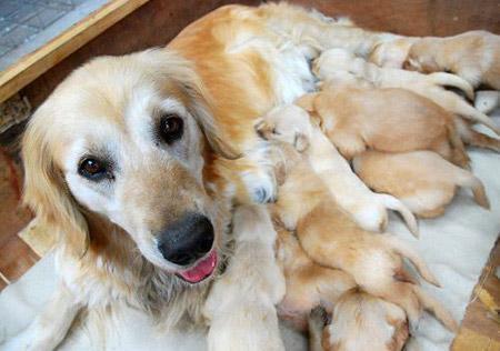 Phòng và trị bệnh viêm tử cung cho chó
