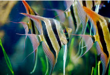 Jenis-Jenis Ikan Manfish/(Angelfish)