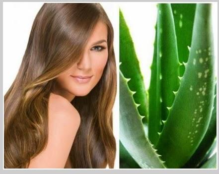 Tanaman Hias Lidah Buaya atau Aloe Vera
