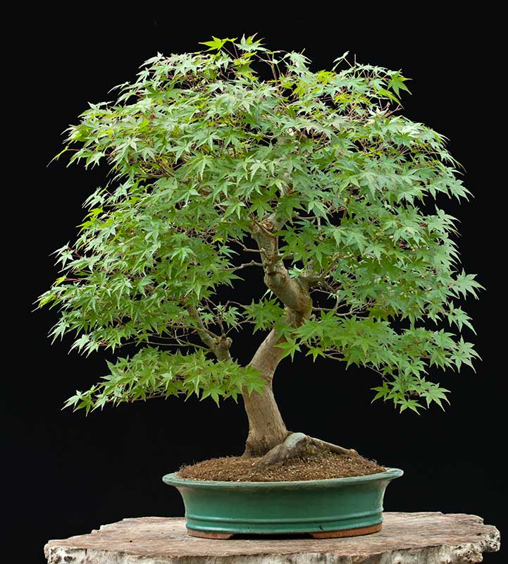 Walter Pall Bonsai Adventures: Japanese maple available ...