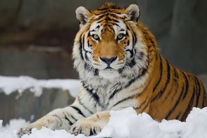 Harimau Siberia atau Harimau Amur ; Si Langka Pemangsa Beruang Coklat