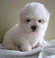 raza de perros pequeños poodle