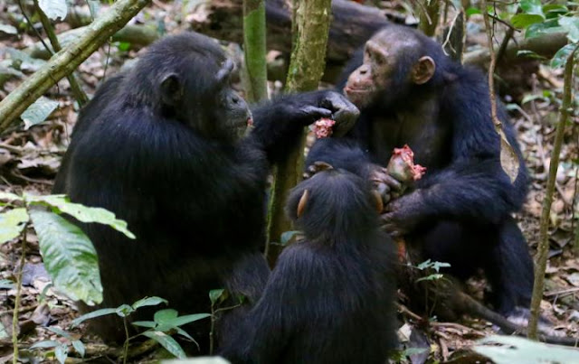 Active participation in group-hunts earns wild chimpanzees meat access