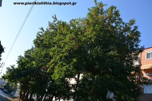 Παρέμβαση του Δήμου Κατερίνης σε... δάσος από ακακίες για την ασφάλεια των πολιτών. (ΦΩΤΟ)