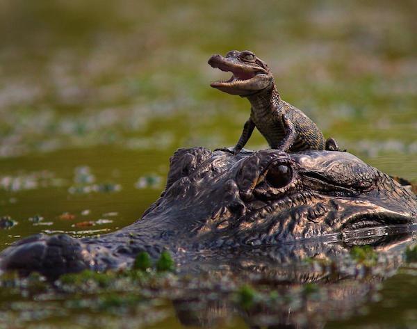 Mum Croc